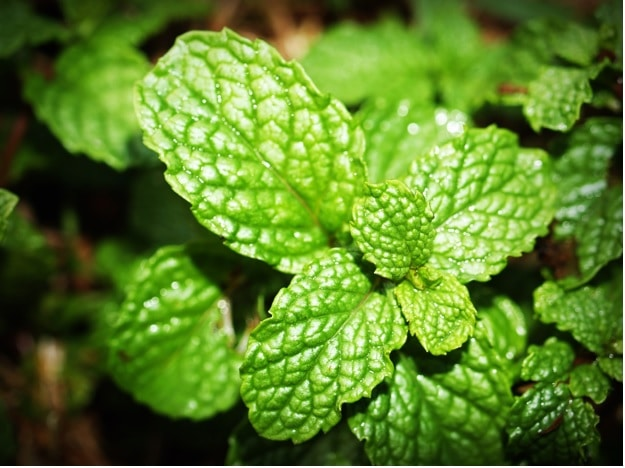 Peppermint essential oil for weight loss