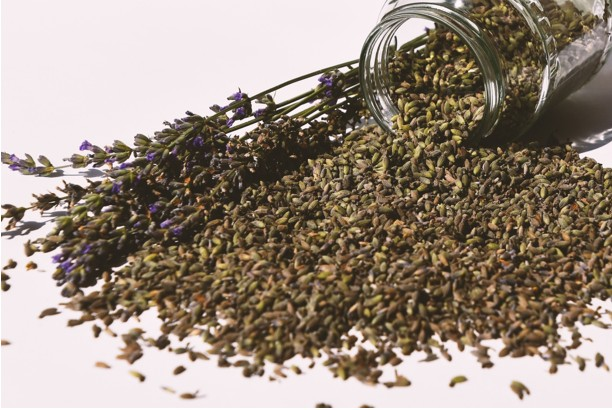 Dried flower seeds of the lavender plants