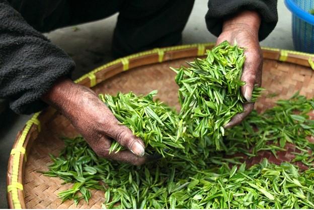 green tea materials and processing